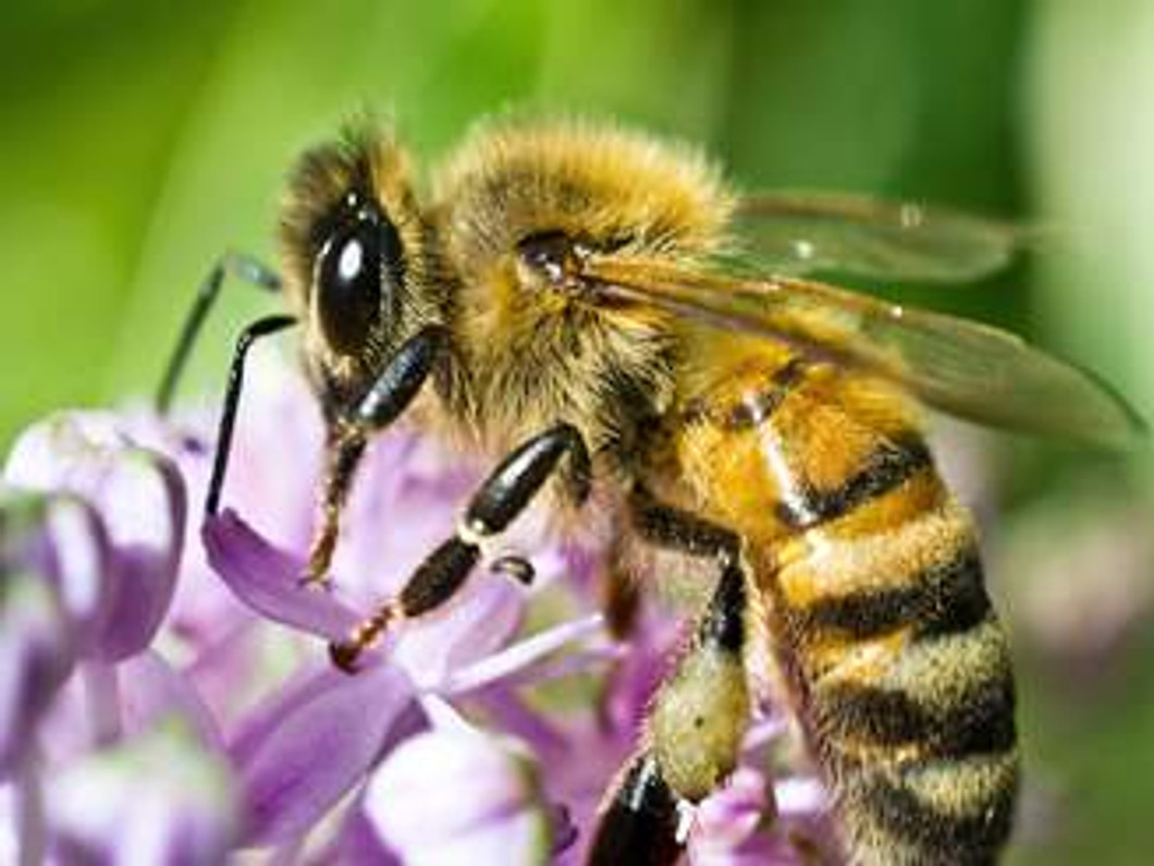 About the Honey Bee