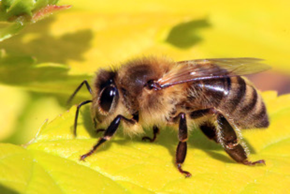 Parasitic Mites That Transmit A Honey Bee-Infecting Virus May Benefit From Spreading The Pathogen, A Study Shows. A Definite Parasite-Pathogen Partnership. Destroy Honey Bee Immunity, Increase Varroa Reproduction.