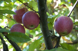 Apple Trees Bear More Fruit When Surrounded By Good Neighbors, And Good Honey Bees. Be Sure Your Grower Knows That.