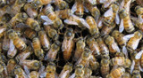 Discovering the Critical Role of the Honey Bee Gut Microbiome in Health and Defense Against Parasites