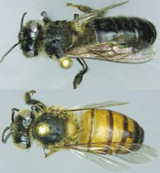 Similar, But Different Genomes Separate Mountain Bees From Savannah Bees In Africa
