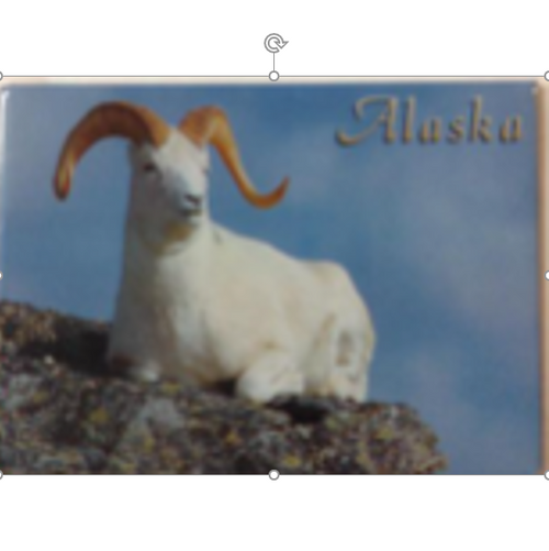 Magnet - Dall Sheep