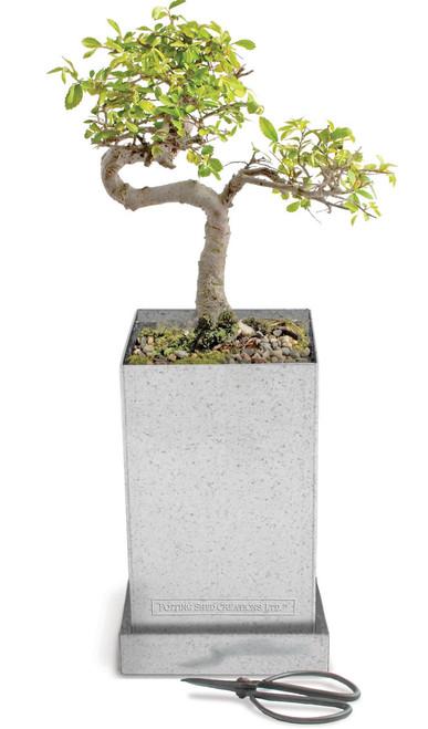 Bonsai Box Japanese Elm