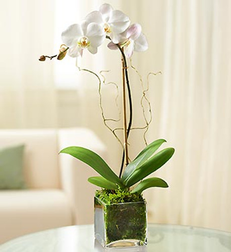 1 Stem White Phalaenopsis Orchid. Call for color availability