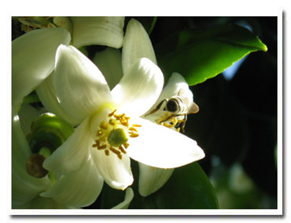 Bees at work on next year's Pixie crop.