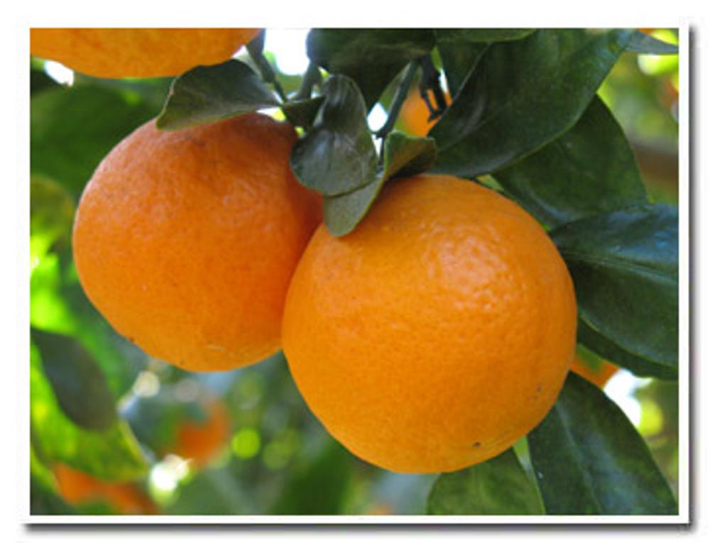 Ojai Pixie Tangerines close up - Churchill Orchard