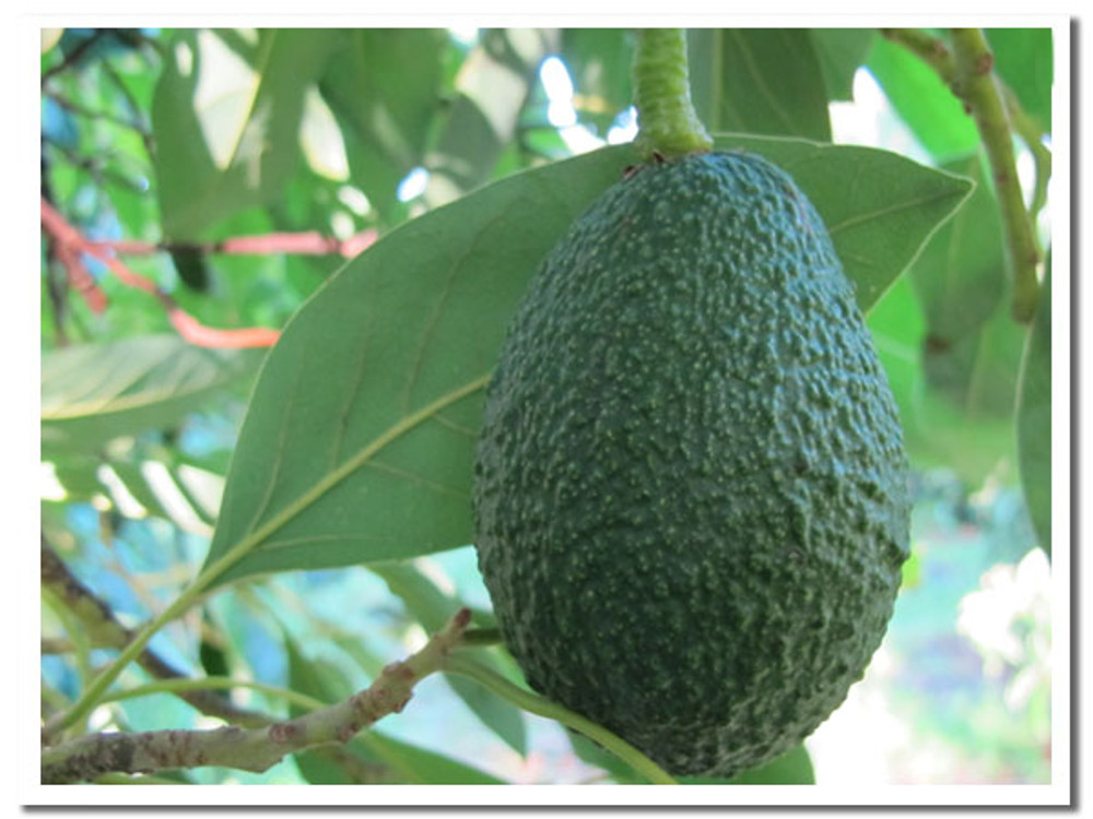 A mature Hass fruit on the tree. Once we pick it, the avocado starts the 10 day ripening process.