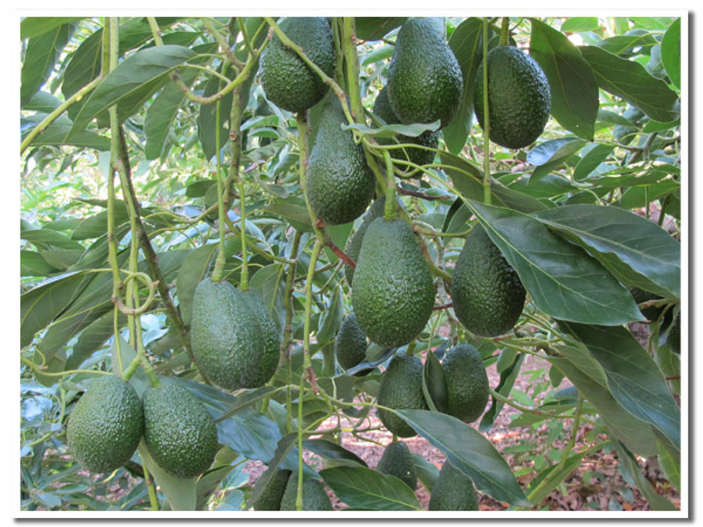 Mature Hass avocados. on the tree. Imagine them growing in their Central American jungle home...