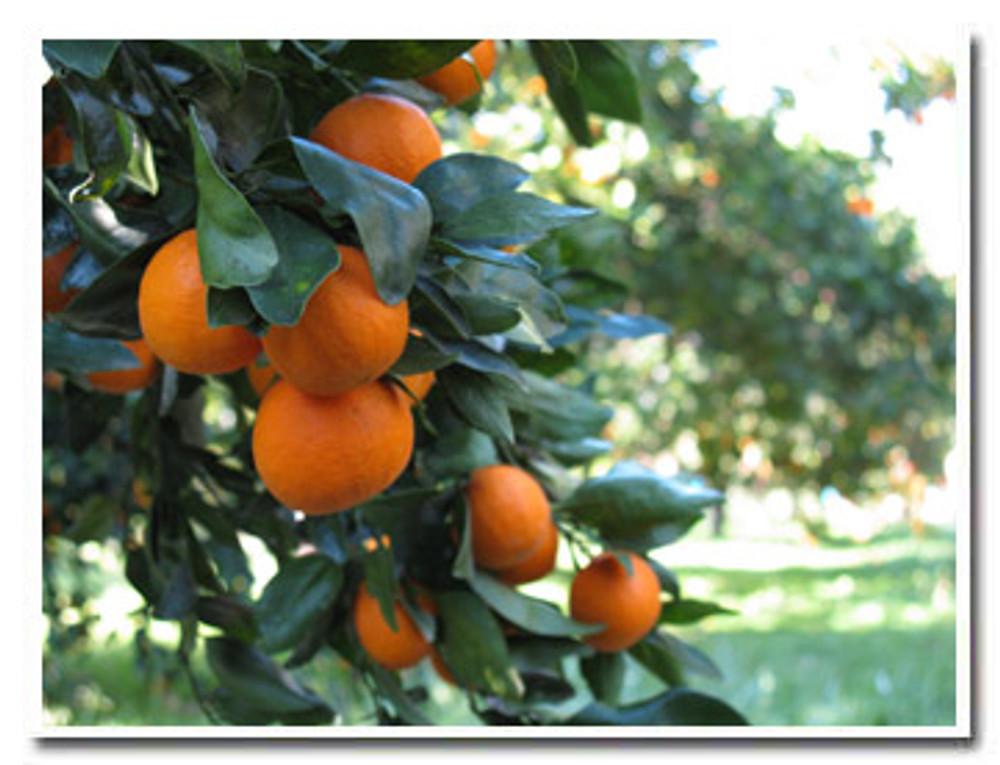 Ojai Pixie Tangerines on the tree - Churchill Orchard