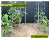 The tomato and pepper plants on the left were grown using organic Brown's Fish Hydrolysate, while the plants on the right were grown with a chemical 10-15-10 fertilizer.  Not only was there a huge difference in size, but the plants using Brown's Fish Hydrolysate produced 500% more fruits and vegetables.  The taste difference was also incredible!