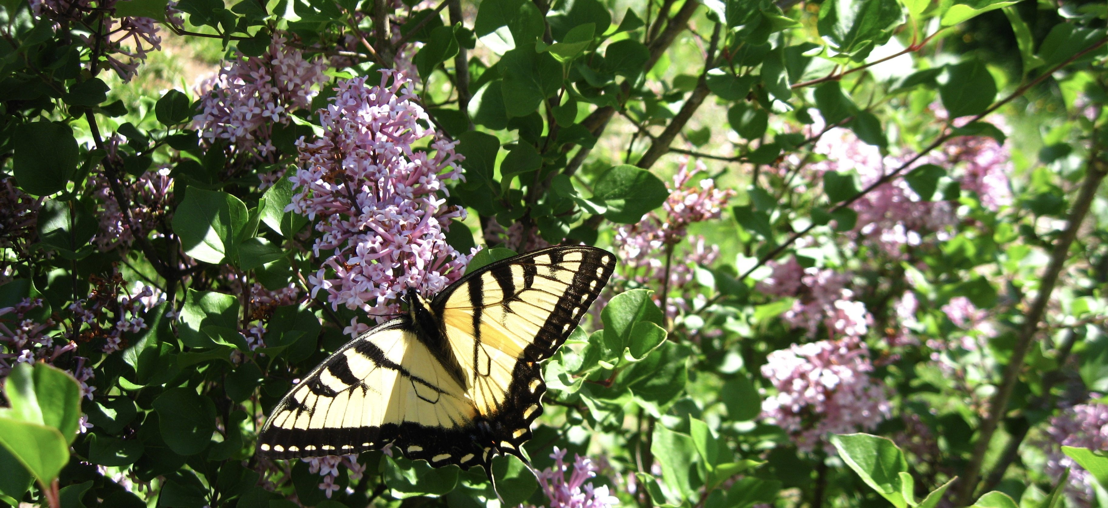 butterfly.on.lilac.jpg