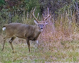 How mature bucks use the wind - Take a risk