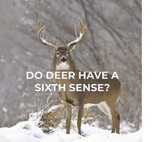 Do deer have a 6th sense???