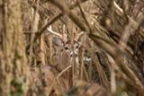 Early Season Bedding Areas | THLETE Whitetail Deer Hunting