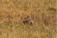 Predator Control | THLETE Whitetail Deer Hunting