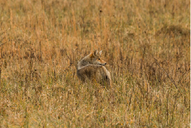 Fawn Mortality Rates and Predator Control