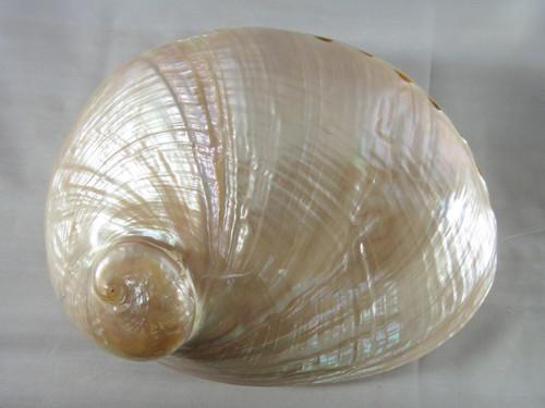 Australian Green Lip Abalone Polished Shell