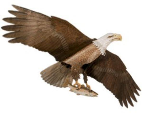 "Jackites - Eagle ""Assembled"""