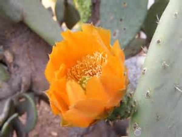 cactus flower nopal prickly pear