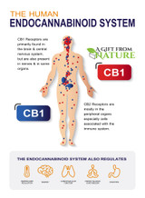 Endocannabinoid System (ECS) And how it interacts with CBD.