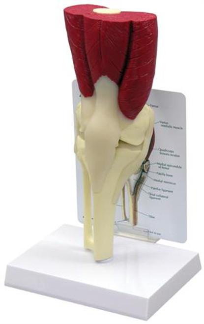 Muscled Knee Model