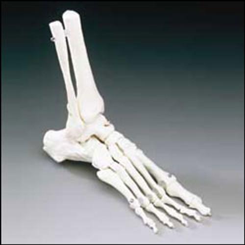 Foot Model-Elastic Foot Model