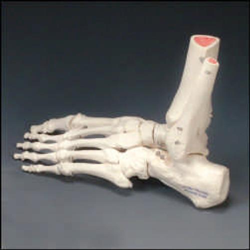 Foot Model-Rigid Skeletal Foot Model -Right Handed