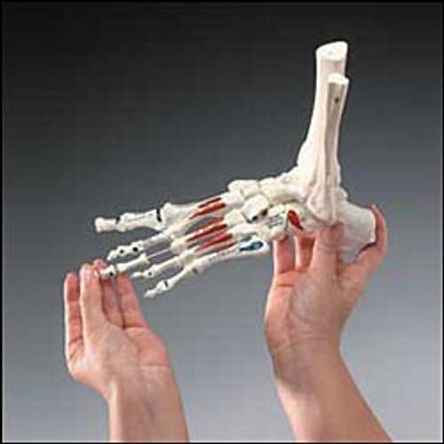 Foot Model-Painted on Elastic