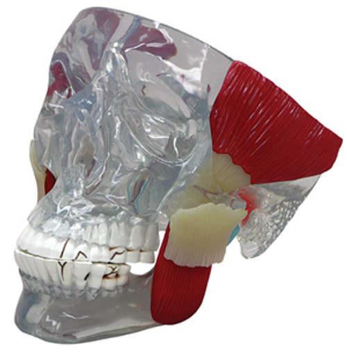 TMJ Clear Skull with Muscles and Pathologies