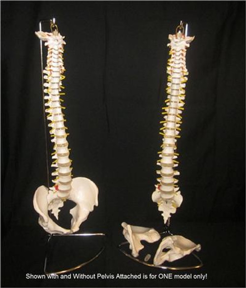 Chiropractic Spine Model with Removable Pelvis + Stand + Key Card