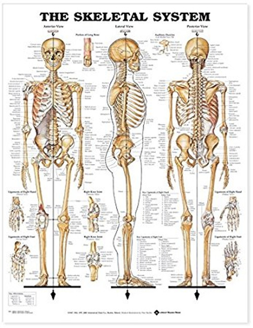 Skeletal System Giant Chart