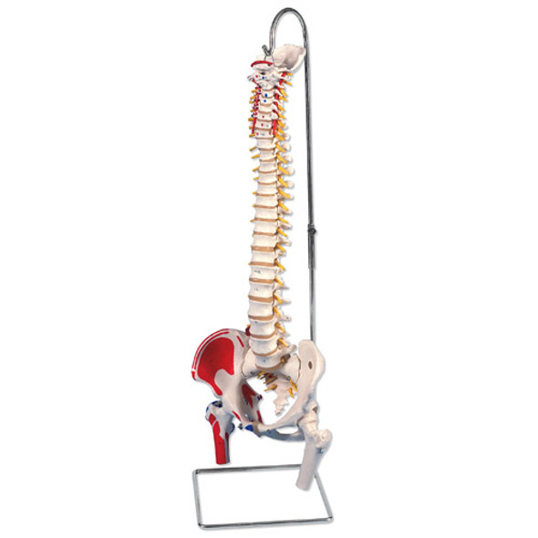 Vertebral Column With Muscle Painting Model w Stand