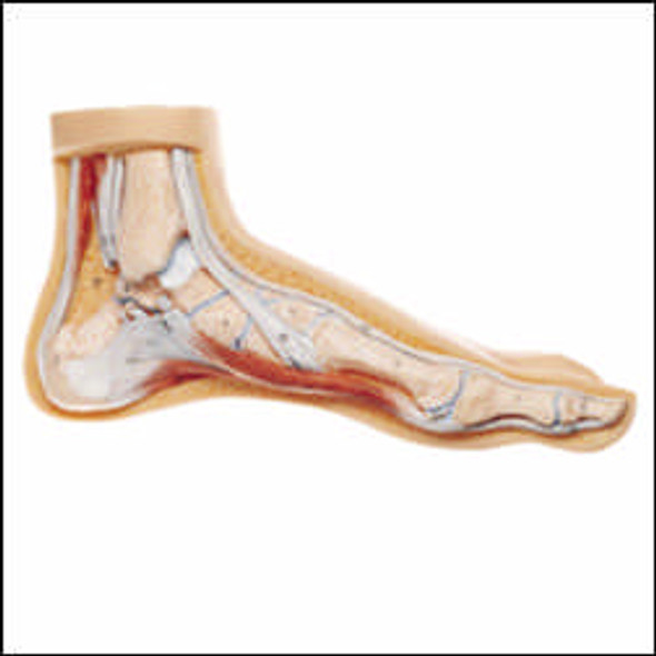 Foot Model-Arched Foot Model