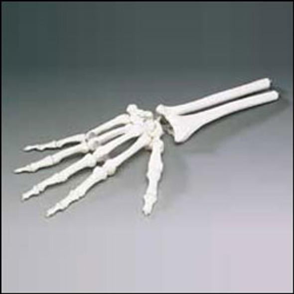 Hand Model- Elastic Hand Model