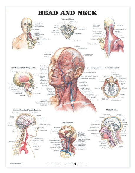 Head and Neck Anatomical Chart