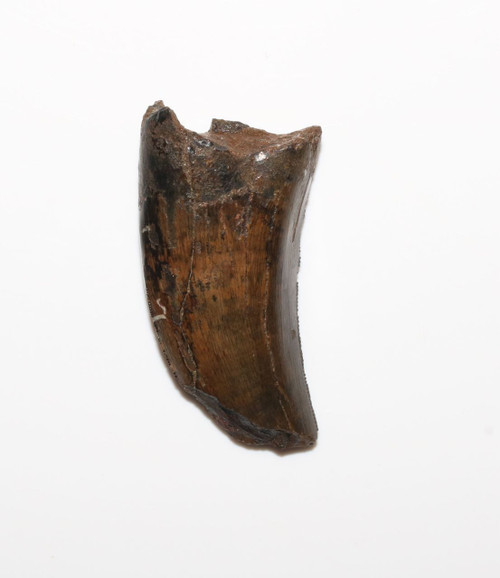 Nanotyrannus Tyrannosaurus Tooth from the Cretaceous period Hell Creek Formation