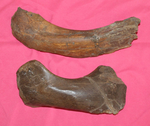 Two Unidentified Dinosaur Bone Fossil Large - Hell Creek Formation - Cretaceous
