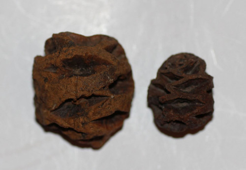 Two 2 Meta Sequoia Pine Cone Dinosaur Age Fossil Hell Creek Formation CRETACEOUS
