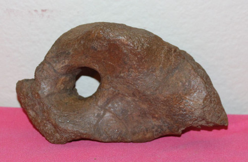 Triceratops Scapula Coracoid Bone Dinosaur from Hell Creek Formation CRETACEOUS