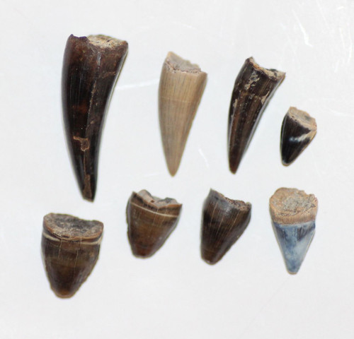 LOT Eight (8) Crocodile Teeth DINOSAUR AGE from Hell Creek Formation CRETACEOUS