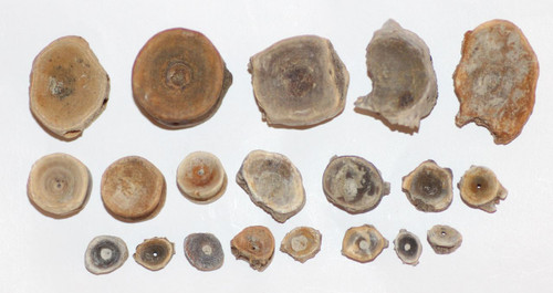 Lot - Twenty (20) Fish Vertebra - Dinosaur Age Hell Creek Formation CRETACEOUS