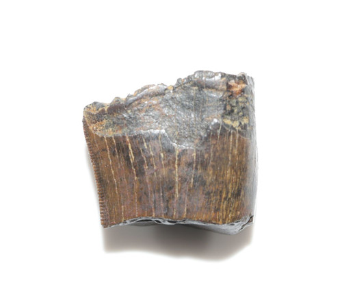 Nanotyrannus Tooth Partial with Great Serrations HELL CREEK FORMATION Cretaceous