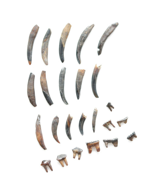 24 Dinosaur Age MAMMAL TEETH - Mesodma Species - Hell Creek Formation CRETACEOUS