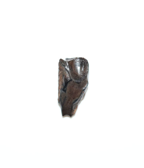 Triceratops Tooth - Hell Creek Formation Late Cretaceous DINOSAUR FOSSIL BEAUTY