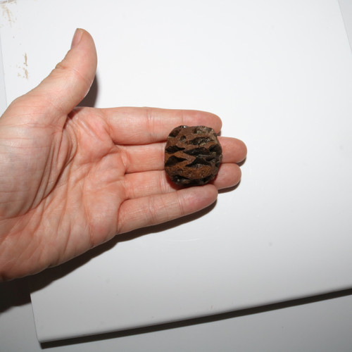 Meta Sequoia Pine Cone Fossil - Hell Creek Formation Cretaceous - 2019 Find HUGE