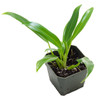 Philodendron 'Wend-imbe'