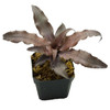 Cryptanthus 'Silver Bullet'