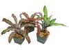 3 Assorted Mature Cryptanthus