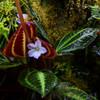 Monolena sp. Red