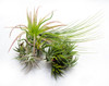 5 Assorted Tillandsias